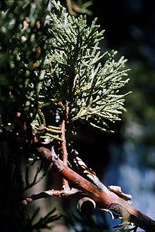 Juniperus_deppeana_USDA