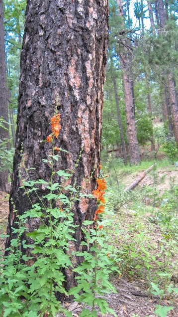 Pinaleno Pine