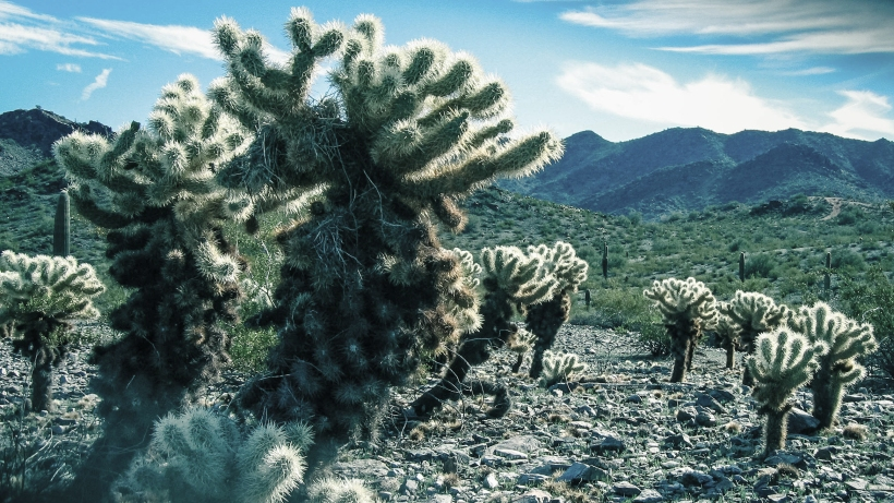 Cholla Morning - A. Sato