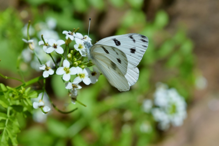 CabbageWhite Butterfly(Pieris rapae)